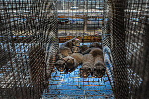 Caged American mink (Mustela vison) kits with injuries in a cage at a fur farm in Sweden.  -  Jo-Anne McArthur / We Animals