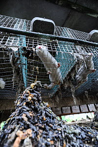 Caged American mink (Mustela vison) with piles of faeces under cages at a fur farm, Sweden.  -  Jo-Anne McArthur / We Animals