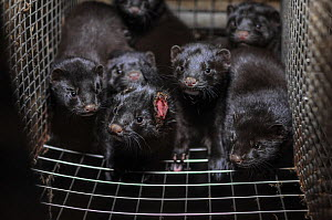 Caged American mink (Mustela vison) at fur farm, Sweden. Mink frequently wound and cannibalize one another in the cramped conditions of fur farms.  -  Jo-Anne McArthur / We Animals