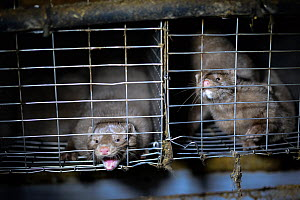 Mink biting cage bars at a fur farm in Ontario, Canada.  -  Jo-Anne McArthur / We Animals