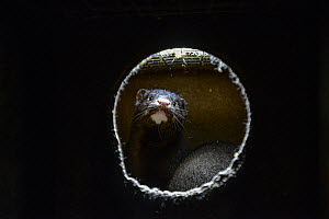 Mink in a nesting box at a fur farm in Ontario, Canada.  -  Jo-Anne McArthur / We Animals