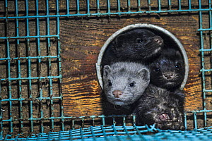 Caged American mink (Mustela vison) with a dead cage mate at a fur farm, Sweden.  -  Jo-Anne McArthur / We Animals