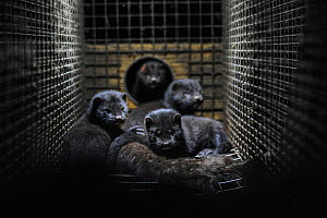 Caged American mink (Mustela vison) kits cuddle the body of their dead mother in a fur farm, Sweden.  -  Jo-Anne McArthur / We Animals
