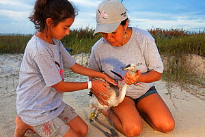 Child holding juvenile Caribbean flamingo (Phoenicopterus ruber) about to be released with the help of an adult, Caribbean flamingo annual banding / ringing event, Ria Lagartos Biosphere Reserve, Yuca...  -  Claudio Contreras
