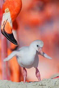 Caribbean flamingo (Phoenicopterus ruber) chick stretching wings, watched by adult, at nest in breeding colony, Ria Lagartos Biosphere Reserve, Yucatan Peninsula, Mexico, June  -  Claudio Contreras