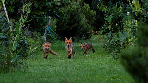Two male Red fox (Vulpes vulpes) hackles up and tails out posture over territory, London, England, UK, May.  -  Matthew Maran