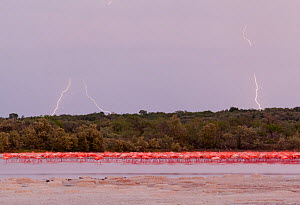 Caribbean flamingos (Phoenicopterus ruber) in distance by mangroves at dusk, during thunderstorm with lightning, Ria Celestun Biosphere Reserve, Yucatan Peninsula, Mexico, August  -  Claudio Contreras