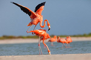 Caribbean flamingos s (Phoenicopterus ruber) pair about to mate, male jumping on top of female, Ria Lagartos Biosphere Reserve, Yucatan Peninsula, Mexico, May  -  Claudio Contreras