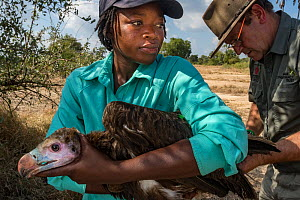 A young White-headed vulture (Trigonoceps occipitalis) is gently restrained as biologists prepare to release it after attaching a solar-powered GPS transmitter between its shoulder blades. Gorongosa N...  -  Jen Guyton