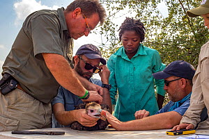 Scientists gently restrain a young White-headed vulture (Trigonoceps occipitalis) which will be fitted with a solar-powered GPS transmitter for monitoring purposes, Gorongosa National Park, Mozambique...  -  Jen Guyton