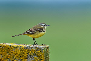 Western yellow wagtail (Motacilla flava) on lichen-covered piece of cut stone,  Vendeen Marsh, France, May  -  Loic Poidevin