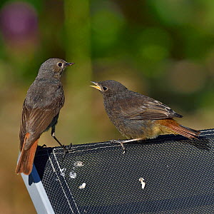 Black redstart (Phoenicurus ochruros) adult and young, Vendee, France, May.  -  Loic Poidevin