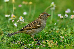 House sparrow (Passer domesticus) in grass, Vendee, France, May.  -  Loic Poidevin
