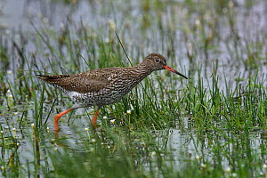 Common redshank (Tringa totanus) in water, foraging, Vendee, Frace, May  -  Loic Poidevin