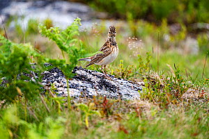 Sky lark (Alauda arvensis) with crest erect, Haytor Down, Dartmoor, Devon , UK. June.  -  David Pike