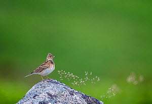 Sky lark (Alauda arvensis), Haytor Down, Dartmoor, Devon , UK. June.  -  David Pike