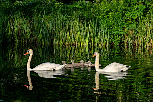 Mute swan, (Cygnus olor) pair with cygnets, near Turf Locks, Exeter Canal, Devon , UK. May.  -  David Pike