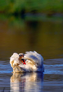 Mute swan (Cygnus olor) preening at water surface, near Turf Locks, Exeter Canal, Devon, UK. March.  -  David Pike