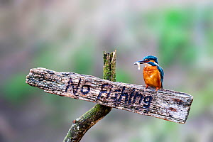 Common kingfisher (Alcedo atthis) holding fish prey in its beak, perching on a wooden 'No Fishing' sign, Wychbold, Worcestershire, UK. February.  -  David Pike