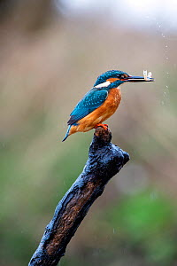 Common kingfisher (Alcedo atthis) holding fish prey in its beak, Wychbold, Worcestershire, UK. February.  -  David Pike