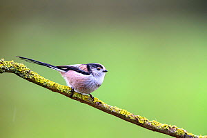 Long-tailed tit (Aegithalos caudatus) on lichen-covered branch, Wychbold, Worcestershire, UK. February.  -  David Pike