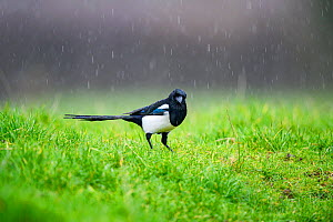 Magpie (Pica pica) standing in the rain, Wychbold, Worcestershire, UK. February.  -  David Pike