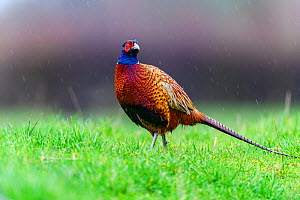 Pheasant (Phasianus colchicus) male, standing in the rain, Wychbold, Worcesterhire, UK. February.  -  David Pike