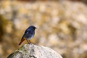 Black redstart (Phoenicurus ochruros), Seaton Hole, Devon, UK.  -  David Pike