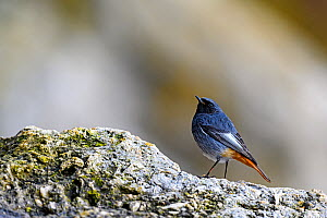 Black redstart (Phoenicurus ochruros) portrait, Seaton Hole, Devon, UK. March.  -  David Pike