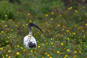 African sacred ibis ( Threskiornis aethiopicus) foraging in grass, Vendee, France, September.  -  Loic Poidevin