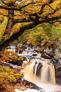 RF - Rogie Falls and autumn woodland with Common oak or Pedunculate oak (Quercus robur). Caledonian forest, Reilig Glen, Scottish Highlands. Scotland. October. (This image may be licensed either as ri...  -  Nick Garbutt