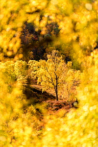 RF - Downy birch (Betula pubescens) changing to autumn colours. Caledonian pine forest, Glen Strathfarrar, Scottish Highlands. Scotland. October. (This image may be licensed either as rights managed o...  -  Nick Garbutt