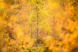 Downy birch (Betula pubescens) changing to autumn colours. Caledonian pine forest, Glen Affric, Scottish Highlands. Scotland. October.  -  Nick Garbutt