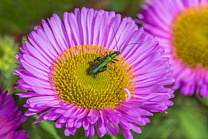 Swollen-thighed beetle (Oedemera nobilis) on Erigeron glaucus flower in garden Cheshire, UK, May.  -  Alan Williams