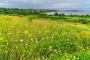 Wildflowers in Port Sunlight River Park a site reclaimed / transformed from a landfill site for houshold and industrial waste. Wirral, Merseyside, UKJuly 2020  -  Alan Williams