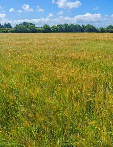 Barley crop (Hordeum vulgare) grown on organic beef farm for feed for the cattle, Cheshire, UK, July 2020  -  Alan Williams