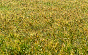 Barley crop (Hordeum vulgare) blowing in the wind grown on organic beef farm for feed for the cattle, Cheshire, UK, July 2020  -  Alan Williams