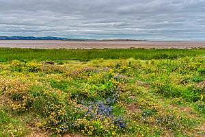 Wildflowers on banks of the Dee Estuary with Hilbre Island and North Wales hills in the background near Hoylake, Wirral, UK, August 2020  -  Alan Williams