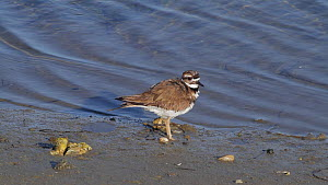 Killdeer (Charadrius vociferus) scratching, preening and ruffling its feathers, Bolsa Chica Ecological Reserve, Southern California, USA, February.  -  John Chan
