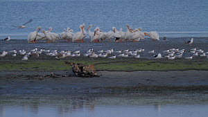 Group of American white pelicans (Pelecanus erythrorhynchos) roosting on a mud flat, Royal terns (Thalasseus maximus) in foreground, Bolsa Chica Ecological Reserve, Southern California, USA, March.  -  John Chan