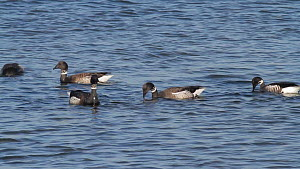 Group of Brent geese (Branta bernicla) foraging in Eelgrass (Zostera marina) bed, Bolsa Chica Ecological Reserve, Southern California, USA, March.  -  John Chan