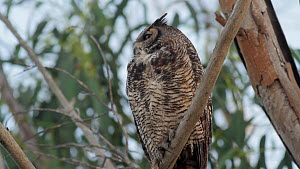 Great horned owl (Bubo virginianus) perched in Eucalyptus tree ruffles its feathers, Bolsa Chica Ecological Reserve, Southern California, USA, May.  -  John Chan