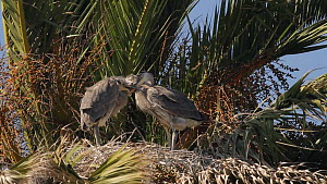Two Great blue heron (Ardea herodias) chicks jostling in the nest, Bolsa Chica Ecological Reserve, Southern California, USA, May.  -  John Chan