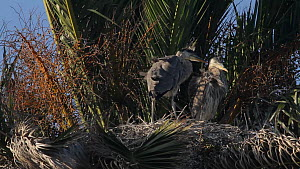 Great blue heron (Ardea herodias) chick stretching its wings before jostling with sibling, Bolsa Chica Ecological Reserve, Southern California, USA, May.  -  John Chan