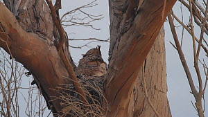 Great horned owl (Bubo virginianus) shielding her chick as it preens itself, Bolsa Chica Ecological Reserve, Southern California, USA, May.  -  John Chan