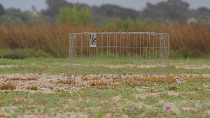 Western snowy plover (Charadrius nivosus) returning to its nest site after foraging nearby. The wire enclosure provides this threatened species with an extra layer of protection against predation. Bol...  -  John Chan