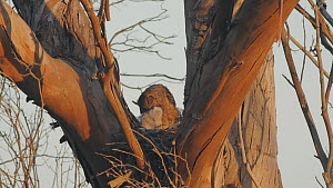 Great horned owl (Bubo virginianus) preening one of her chicks in nest, Bolsa Chica Ecological Reserve, Southern California, USA, May.  -  John Chan