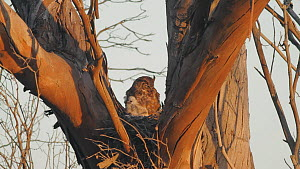 Great horned owl (Bubo virginianus) resting in nest with chick which begins to preen itself, Bolsa Chica Ecological Reserve, Southern California, USA, May.  -  John Chan