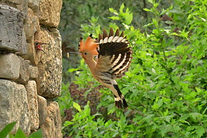 Hoopoe (Upupa epops) carrying food to chicks in hole in stone wall. Herault, France  -  Dave Watts