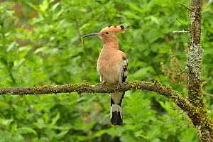 Hoopoe (Upupa epops) carrying food to nestlings in hole in stone wall. Herault, France  -  Dave Watts